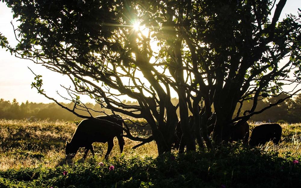 Græssende kalve og kvier, ved nakkehage i rørvig
