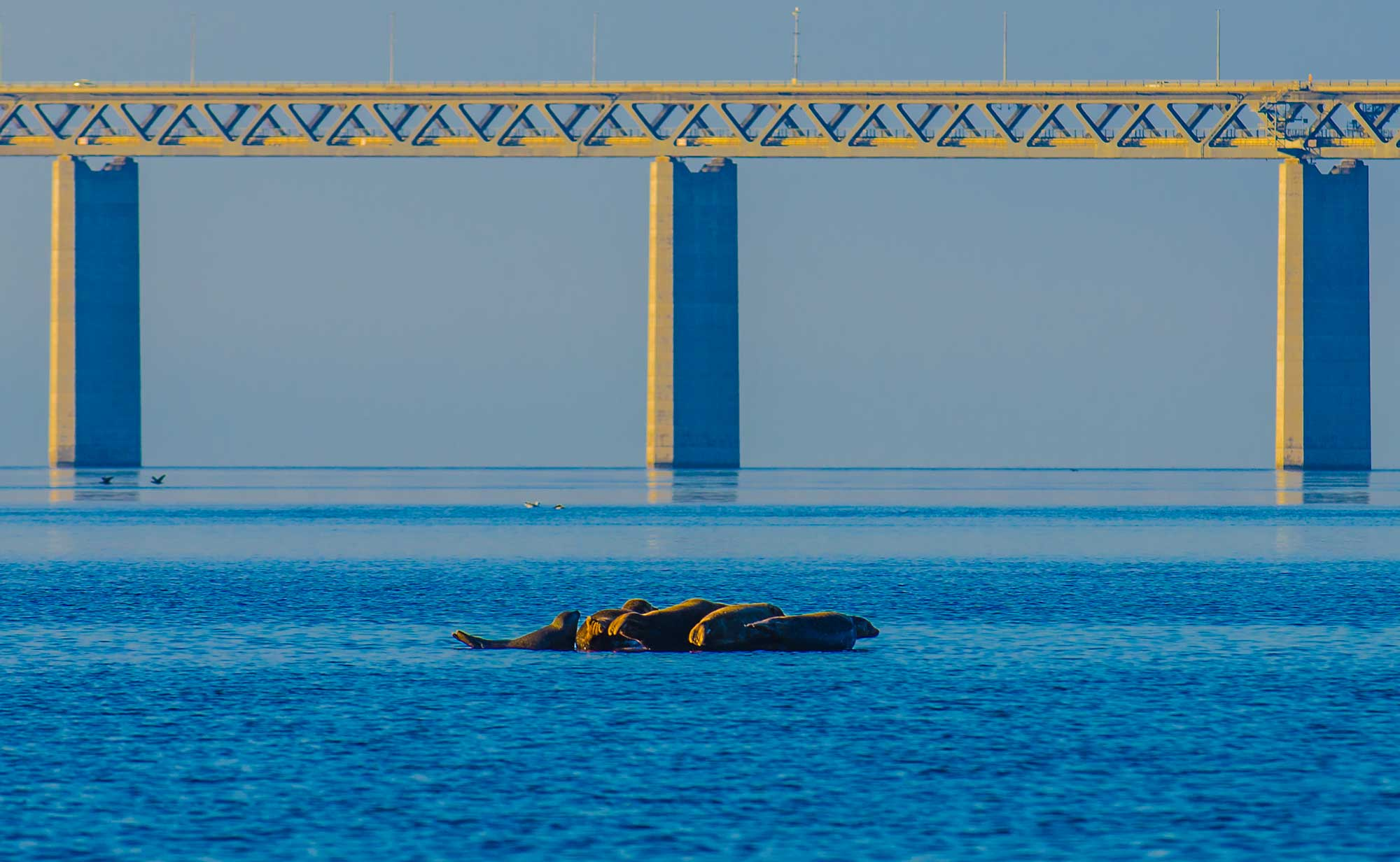 Øresund Bridge Seal colony resting on stone - krestenhillerup.dk