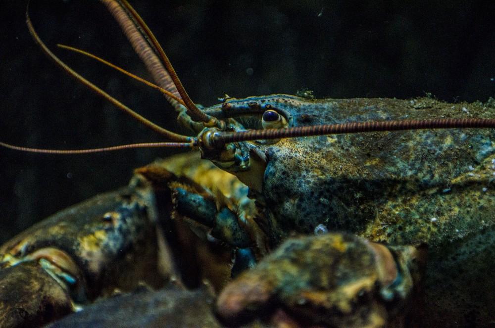 Hummer / Lobster close up