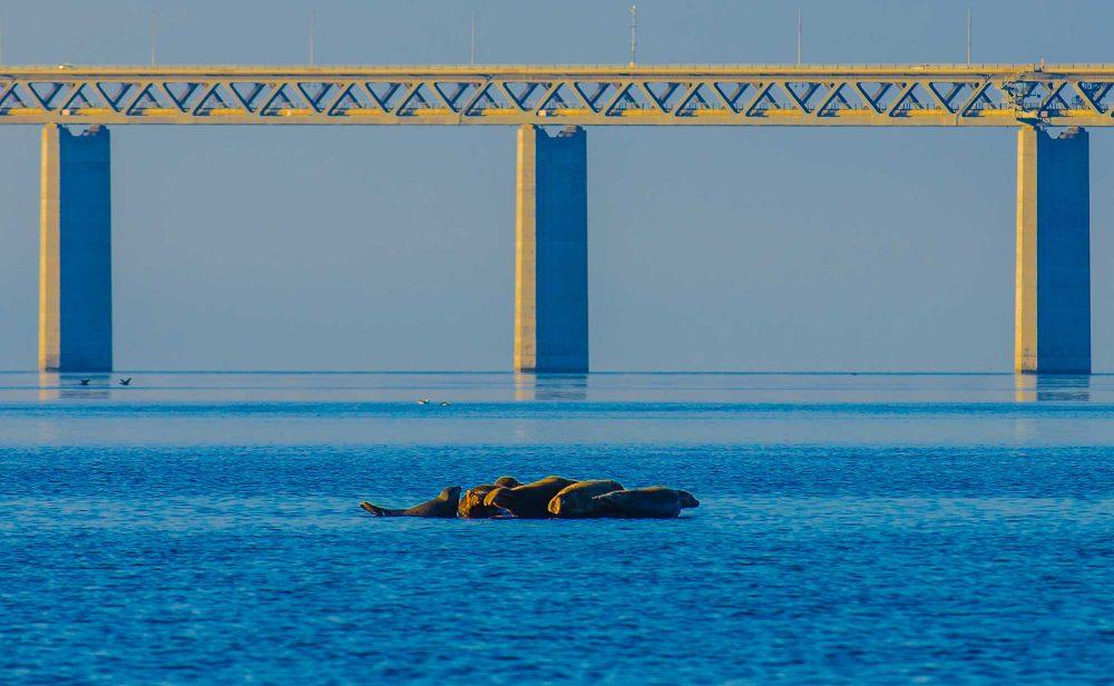 Øresund Bridge Seal colony resting on stone - krestenhillerup.dk